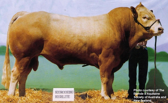 blonde cattle